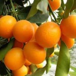 Narancsfa  dél-olaszországban...