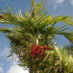 Datolya pálma a város szívében