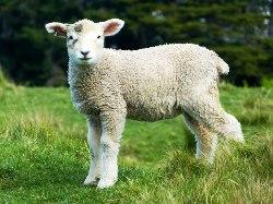 baby-sheep