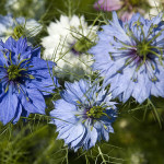 Kék virágú Nigella sativa