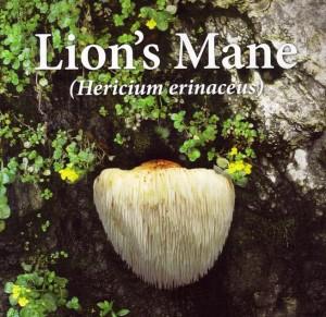 Lion's-Main-Mushroom latin